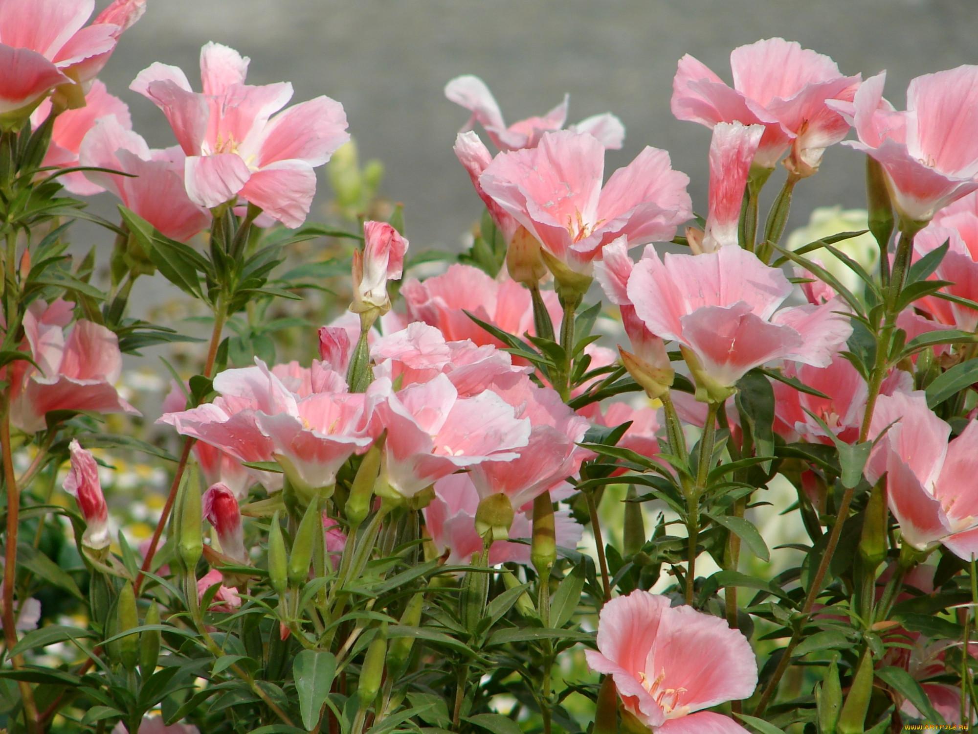 Цветы годеция фото 7